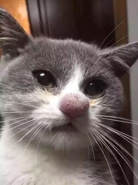 Больше не буду пытаться поцеловать пчелу кошки, смешные  кошки, смешные животные, собаки