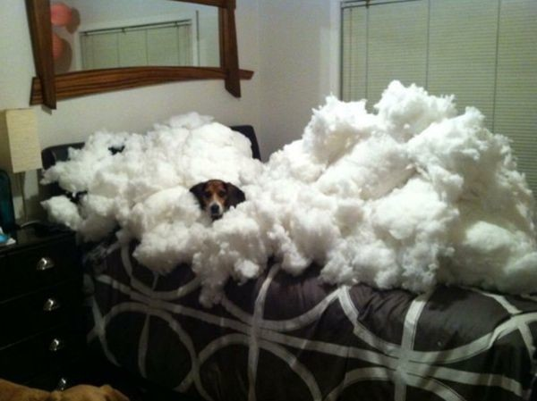 Они говорят, что я съел диван. Что за чепуха! Просто немного взбил подушки кошки, смешные  кошки, смешные животные, собаки