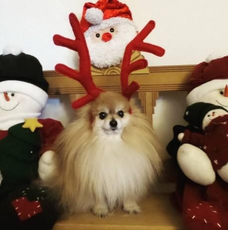 24. Надеется стать главным оленем в упряжке Санты  праздник, рождество, собака