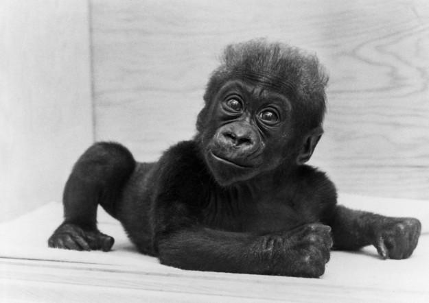 Коло стала первым детенышем гориллы, который родился и выжил в неволе горилла, долгожитель, юбилей