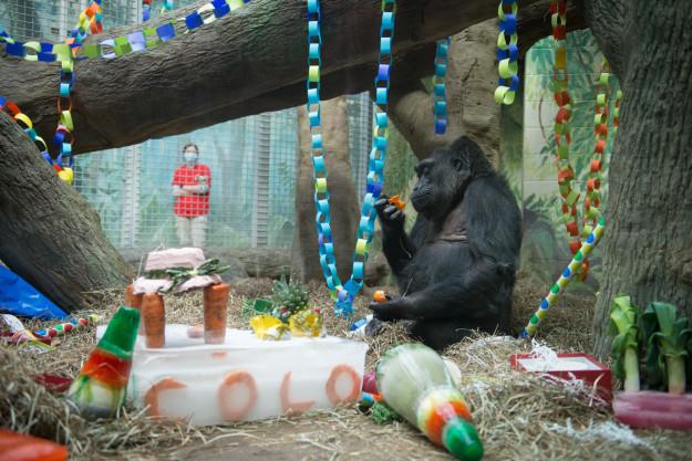 В зоопарке всегда празднуют день рождения Коло (на фото 59-летие гориллы) горилла, долгожитель, юбилей