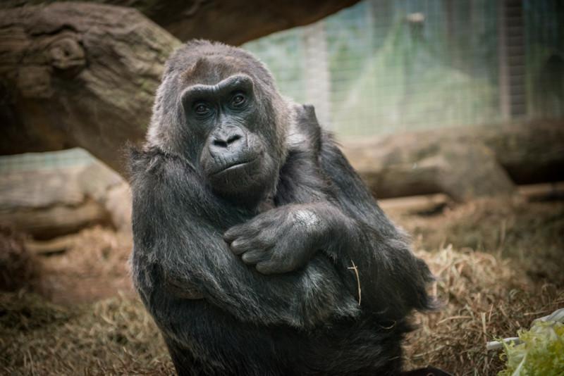 Старейшая горилла в мире  горилла, долгожитель, юбилей