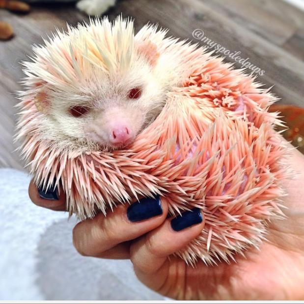 Пинк Флойд - еж-альбинос ежики, звезда, знаменитость, счастливый конец