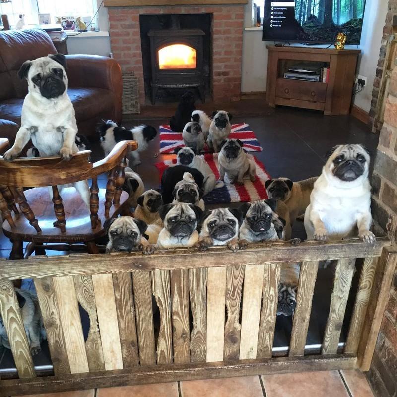 Британка потратила больше тысячи фунтов на подарки своим 30 мопсам животные, мопс, подарок, собаки