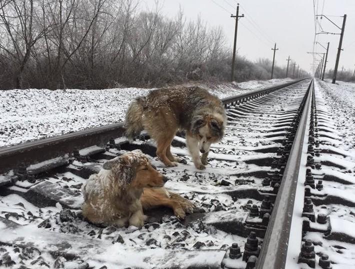 Пёс двое суток не бросал раненую подругу на железнодорожных путях добро, животные, собаки