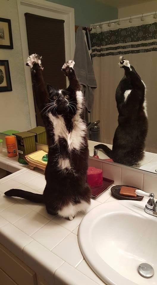 У этого кота очень странная реакция на слово «стоять!» животные, коты, поза, юмор