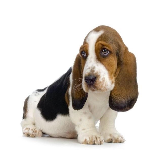 Бассет-Хаунд животные, приколы, собаки, фото, юмор