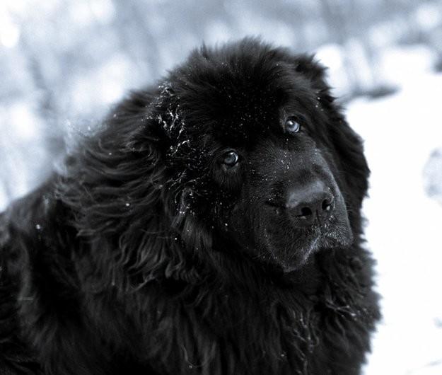 Ньюфаундленд животные, приколы, собаки, фото, юмор