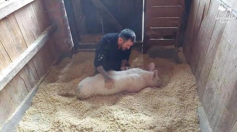 Патриция так любит свежую постель, потому что свиньи очень чистоплотные животные животные, милота, свиньи