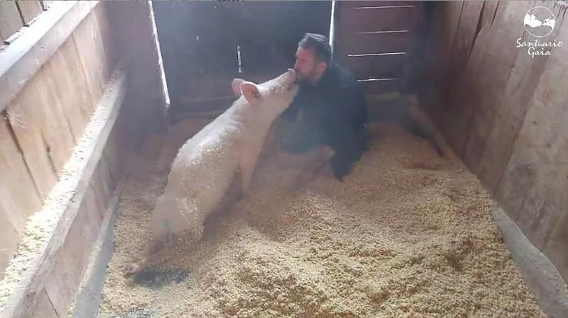 И остановилась лишь для того, чтобы отблагодарить заботу поцелуем животные, милота, свиньи