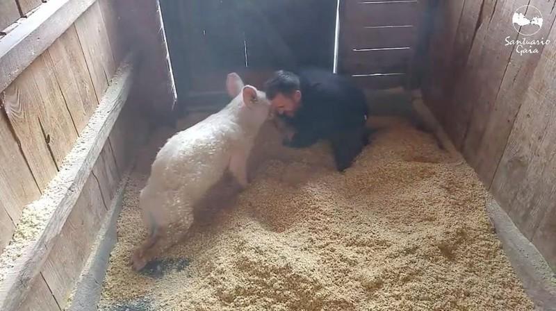 И получила заслуженную любовь и ласку в ответ животные, милота, свиньи