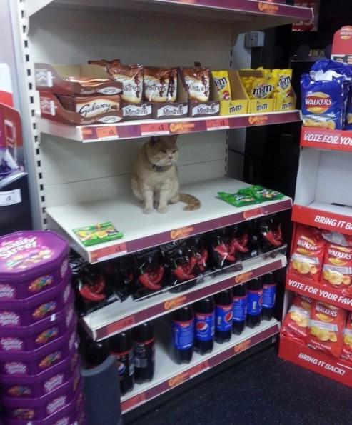 Этот кот полюбил один супермаркет в Англии и не хочет уходить оттуда животные, история, коты