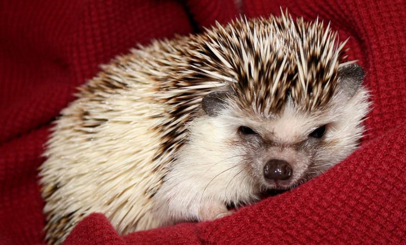 24 фотографии ёжиков,от которых ваш мимиметр лопнет! животные, фото.милые, ёжики