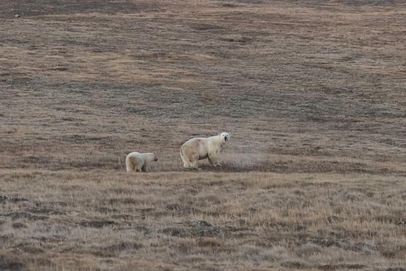 Спасение медвежонка, у которого в пасти застряла консервная банка животные, медведь, спасение