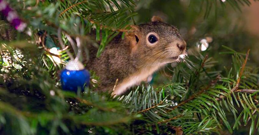 Белка, спасённая семейной парой, теперь живёт в ветвях новогодней ёлки супругов белка, животные, новый год