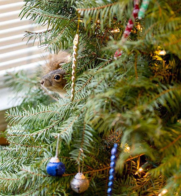 Может быть, Миттен никогда больше не сможет жить в дикой природе - он слишком слаб. Поэтому теперь он живёт в новогодней елке! белка, животные, новый год