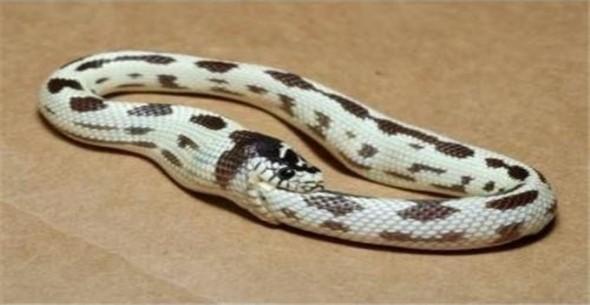Ядовитые змеи время от времени кусают сами себя. Несомненно, что от этого змее может быть плохо, однако она не умрет - собственный яд не причиняет ядовитым змеям особого вреда животные, интересно, особенности, факты