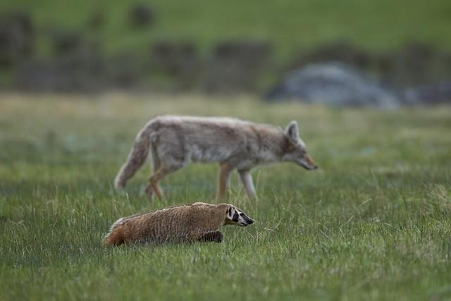 Койоты и барсуки объединяются для охоты животные, интересно, особенности, факты