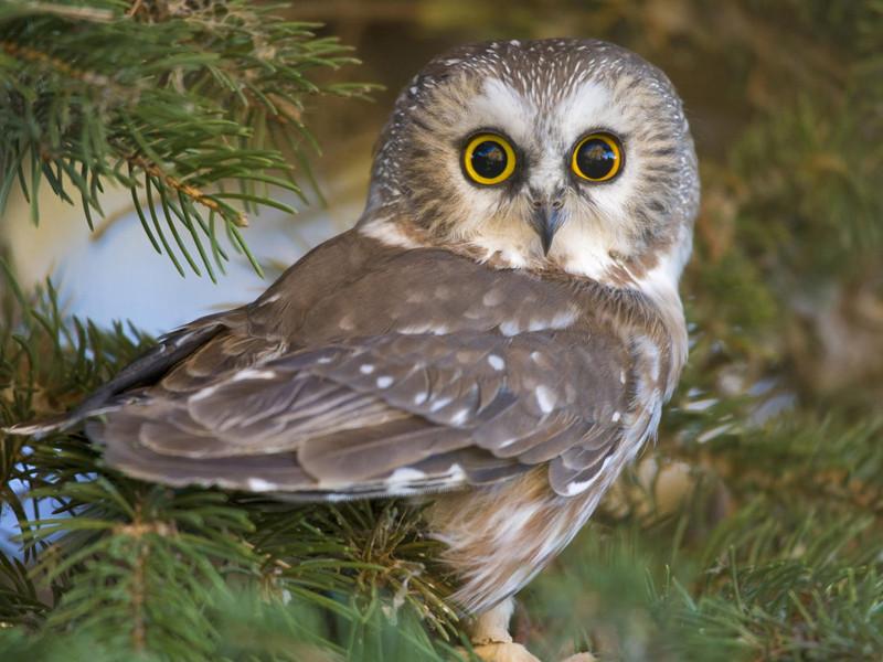 Перья на лицевом диске совы мало того, что подвижны, так еще и позволяют регулировать ширину ушных щелей и имеют структуру для лучшего улавливания звуковых волн. Совы улавливают незначительные звуки на расстоянии до 23 метров животные, интересно, особенности, факты