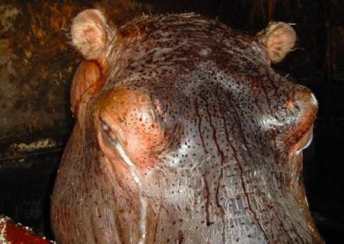 Гиппопотамы, защищаясь от солнца, выделяют кровавый пот животные, интересно, особенности, факты