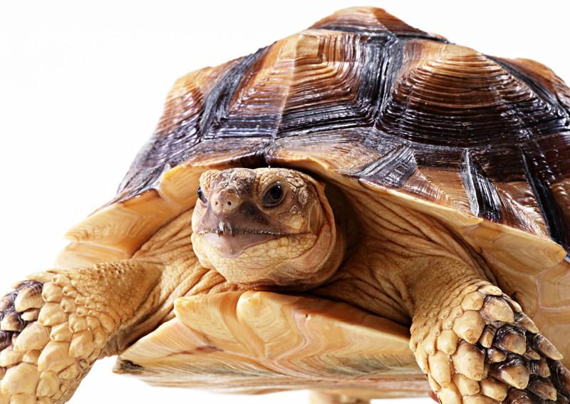 Самки коробчатых черепах способных хранить сперму на протяжении многих месяцев и начинают размножаться лишь при благоприятных условиях животные, интересно, особенности, факты