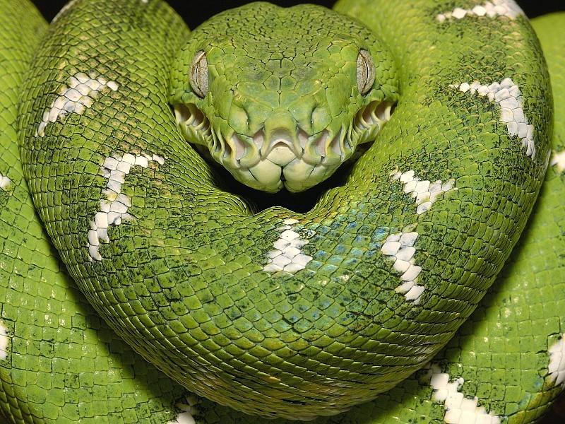 Змеи при броске переносят нагрузки, сравнимые с нагруками пилотов истребителей. Обычный человек теряет сознание при нагрузке в 9G. Нагрузка во время броска змеи 28G животные, интересно, особенности, факты