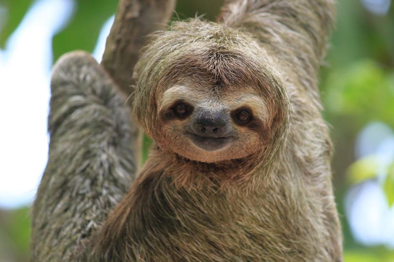 Ленивцы малочувствительны к боли и обладают удивительной способностью исцеляться даже от серьезных ран животные, интересно, особенности, факты