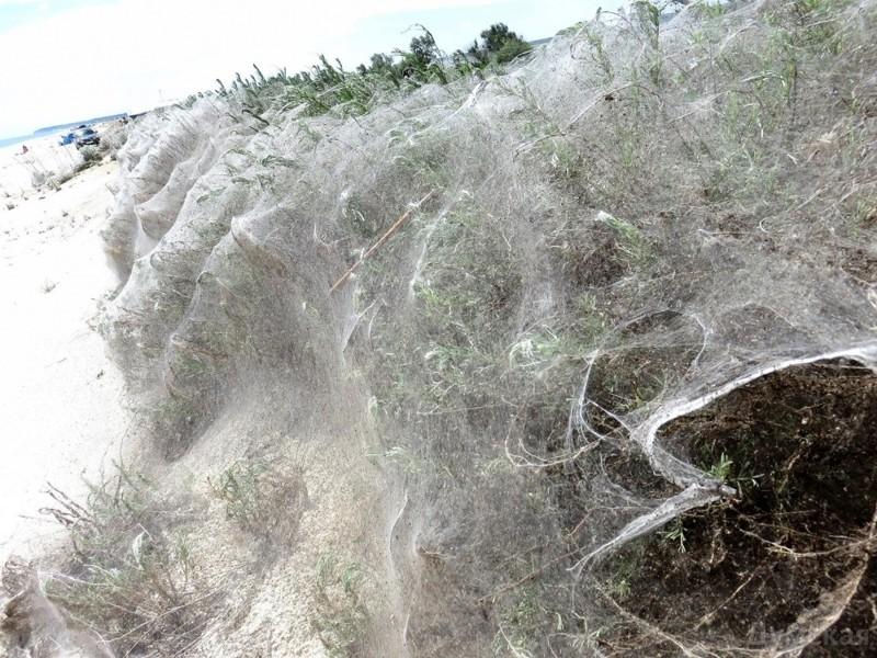 """Определенные виды пауков плетут """"социальные сети"""", дабы поймать как можно больше пищи. Однажды 12 тысяч пауков сплели единую паутину, площадью 150 квадратных метра.  животные, интересно, особенности, факты"""