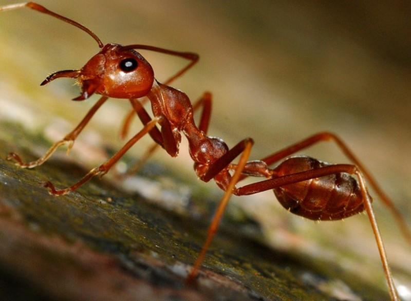 В Малайзии и Брунее живут муравьи в брюшной полости которых содержится особый клей, который в случае опасности опутывает врага. Муравей сам взрывает себя. животные, интересно, особенности, факты