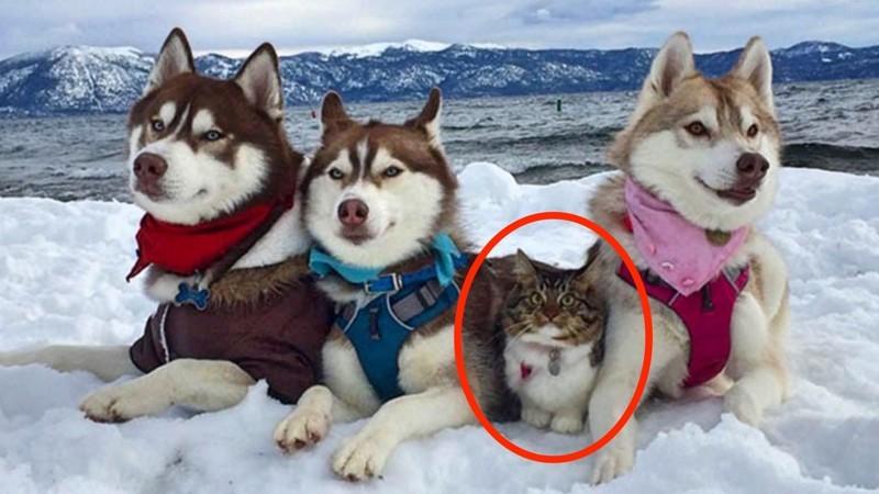 Кошка, которую спасли и вырастили хаски, теперь считает себя большой и отважной собакой животные, кошка хаски, милота, рози, хаски