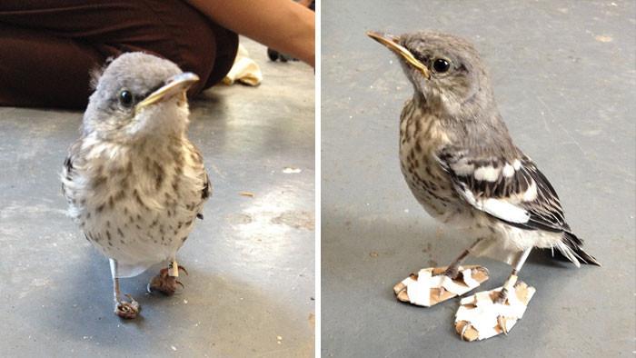 """Изобретательный спаситель сделал """"лыжи"""" для раненой птички, которые позволили ей вновь встать на ноги животные, спасение, счастливый конец"""