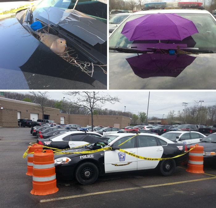 Птица свила гнездо на полицейской машине. Тогда полицейские прикрыли ее от ветра и дождя зонтом и оставили машину на огороженной стоянке, чтобы гнездо никто не побеспокоил  животные, спасение, счастливый конец