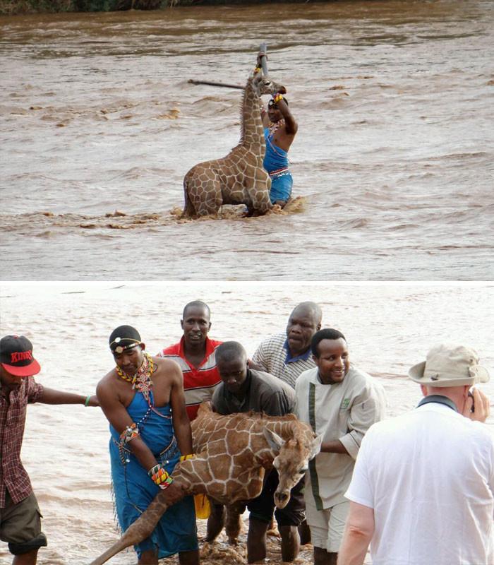 Группа людей спасла тонущего жирафенка в Кении животные, спасение, счастливый конец