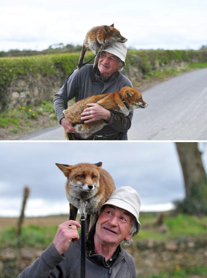 Мужчина спас двух лисиц, и теперь они отказываются покидать его животные, спасение, счастливый конец