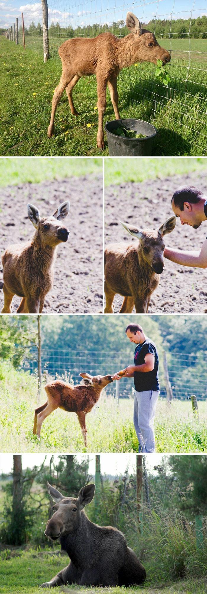 Спасенный лосенок каждый день приходит к своему спасителю, чтобы поиграть с ним животные, спасение, счастливый конец