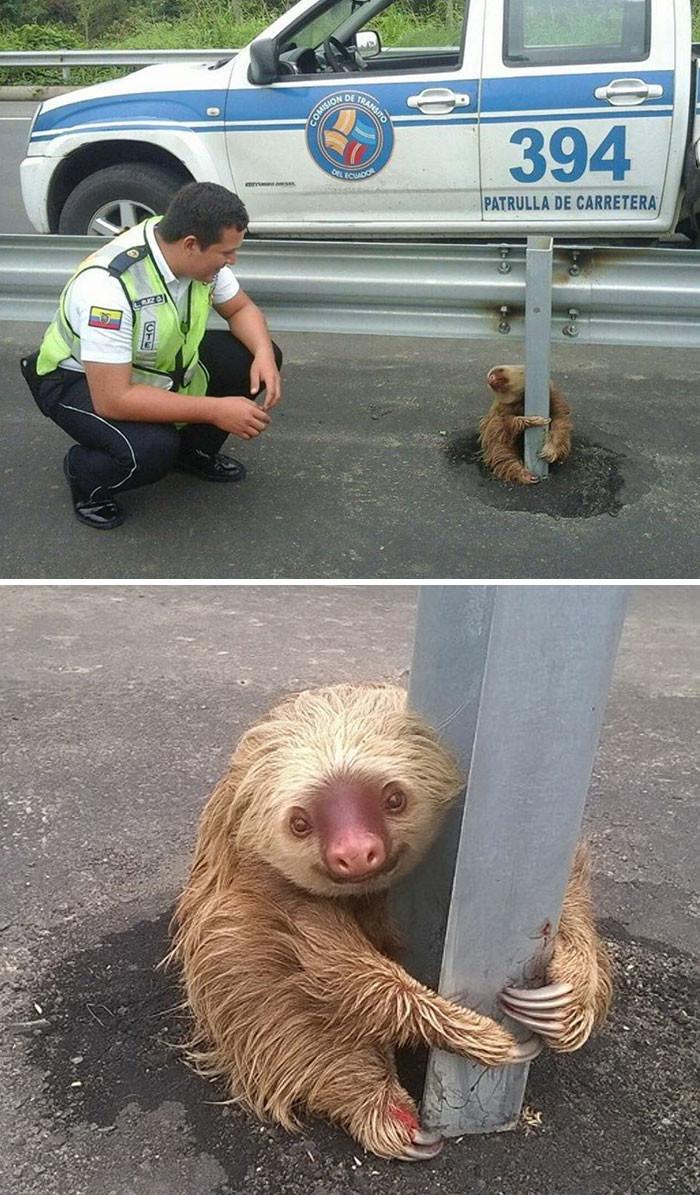Полицейские спасли маленького испуганного ленивца, застрявшего на шоссе животные, спасение, счастливый конец