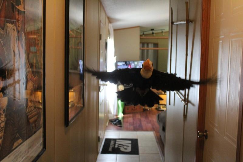 Она очень активная малышка и обожает летать и играть в доме… животные, милота, птицы, тукан