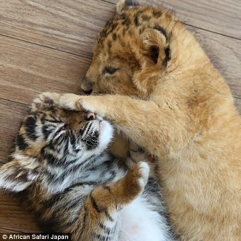 Лучшие друзья — тигренок и львенок из японского сафари-парка друзья, животные