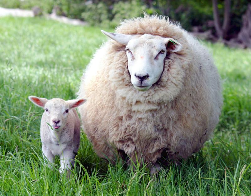 Интересный факт, что овцы могут запоминать лица людей. животные, интересно, факты