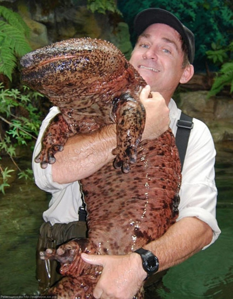 Японская саламандра.На сегодняшний день – это самое крупное земноводное, которое может достигать 160 см в длину животные, интересно, факты