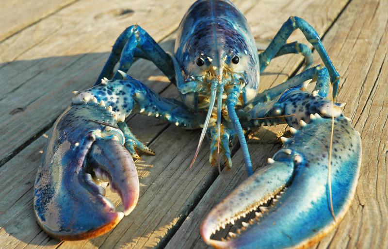Омары имеют синий оттенок крови. животные, интересно, факты