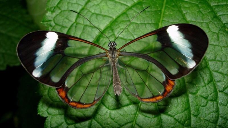 Стеклянница – одна из самых необычных бабочек. Ее необычность заключается в том, что ее крылья прозрачны. животные, интересно, факты