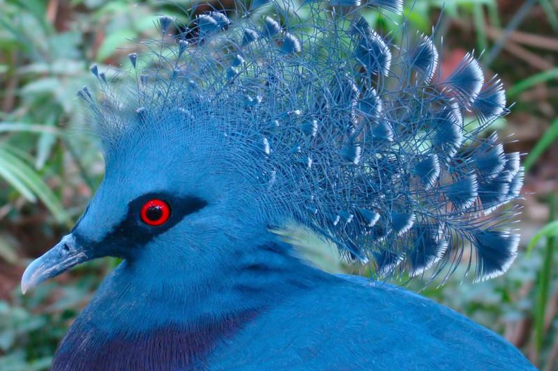 Удивительный вид голубя – венценосный голубь. животные, интересно, факты