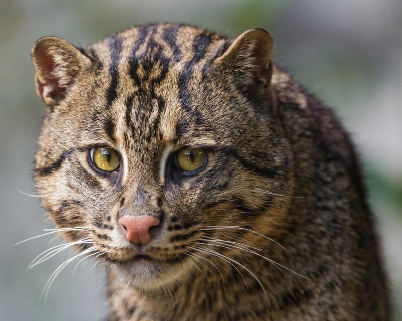 Виверровые коты-рыболовы  животные, зверюшки, коты, природа, факты, экзотика