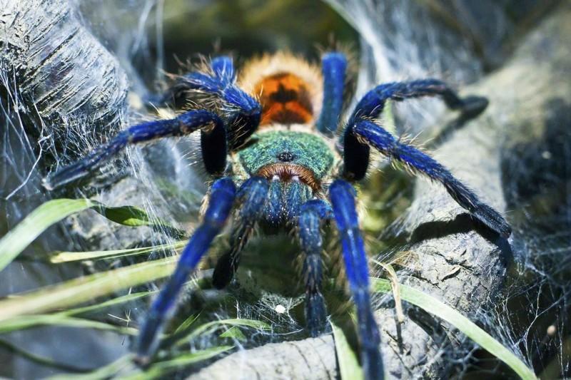Вот несколько видов домашних пауков-птицеедов.  животные, змеи, пауки