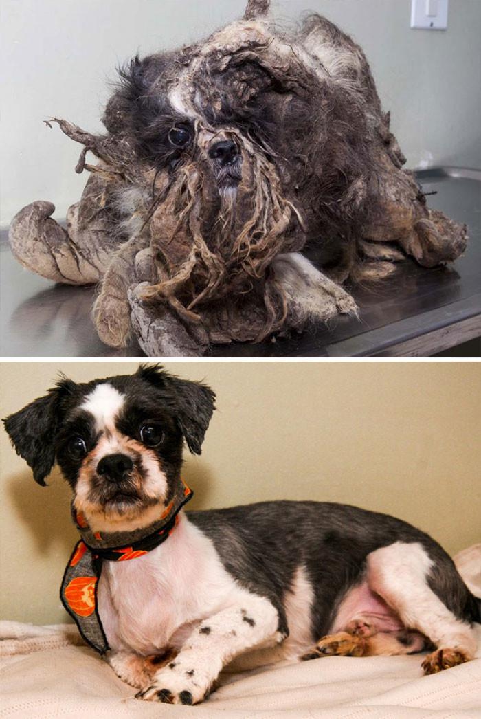 Этого беднягу подобрали на улицах Монреаля. Из-за спутанной грязной шерсти невозможно было даже опознать в нем собаку! Но теперь, чистый и подстриженный, он выглядит великолепно! собаки, спасение, счастливый конец
