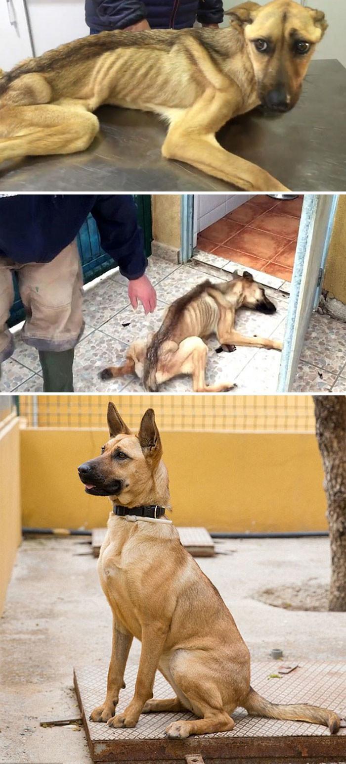 Измученная голодом собака, которая не могла даже стоять, через 7 недель лечения изменилась до неузнаваемости! собаки, спасение, счастливый конец