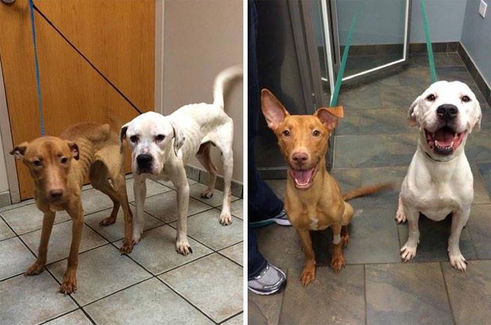 Эти псы были похожи на двух скелетов. Теперь они снова - довольные жизнью собаки! собаки, спасение, счастливый конец