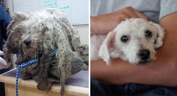 Эту найденную на улице собаку за жуткий вид назвали Шреком. Когда ее избавили от спутанной шерсти и грязи, она оказалась прелестной мальтийской болонкой собаки, спасение, счастливый конец