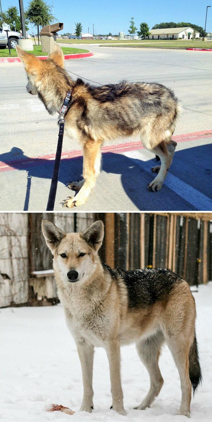 Это мисс Минда - сразу после того, как ее подобрали с улицы, и год спустя собаки, спасение, счастливый конец